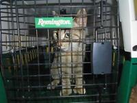 "Young Female Cat - Domestic Short Hair: ""Francine"""