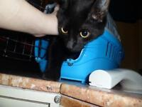 """Young Female Cat - Domestic Short Hair: """"Joanne"""""""