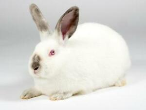 "Young Female Rabbit - Californian: ""Ivory"""