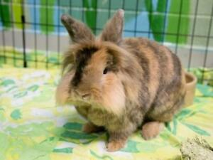 New Home needed for Lionhead and Holland Lop