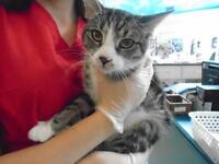 "Young Female Cat - Domestic Short Hair: ""Booboo"""