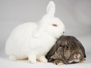 """Young Female Rabbit - Lop Eared: """"Salt and Pepper"""" Kingston Kingston Area image 2"""