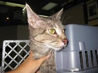 "Young Female Cat - Domestic Short Hair: ""29482480"""