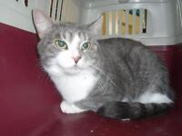 "Young Female Cat - Domestic Short Hair: ""Myssy"""