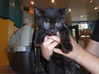"Baby Male Cat - Domestic Short Hair: ""Charcoal"""