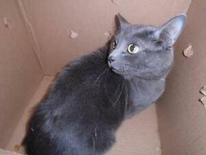 "Adult Male Cat - Russian Blue: ""SMOKY (BONDED WITH MISTY)"""