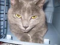 """Young Male Cat - Domestic Short Hair: """"Grizou"""""""