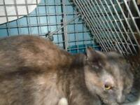 """Young Female Cat - Domestic Short Hair: """"29453412"""""""