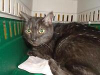 "Young Male Cat - Domestic Short Hair: ""Logan"""