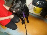 """Adult Female Dog - Labrador Retriever: """"Ernestine"""""""