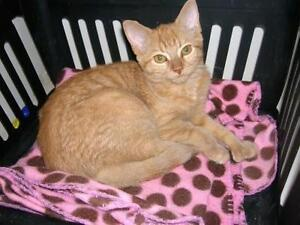 """Young Female Cat - Domestic Short Hair: """"Ditto"""""""