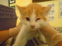 "Baby Male Cat - Domestic Long Hair: ""Simon"""
