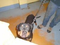 """Young Male Dog - Rottweiler: """"Bud"""""""