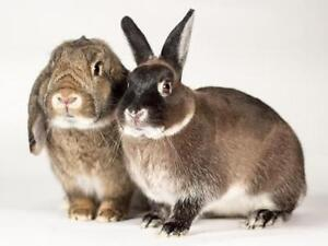 "Young Male Rabbit - Lop Eared: ""Silver and Ti-Gris"""