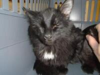 """Young Male Cat - Domestic Medium Hair: """"Papou"""""""