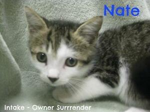 "Young Male Cat - Tabby - Brown: ""Nate"""