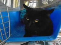 """Young Male Cat - Domestic Short Hair: """"Chester"""""""
