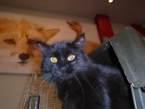Adult Female  - Domestic Long Hair-Domestic Short Hair