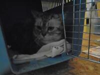 "Young Female Cat - Exotic Shorthair: ""Silva"""