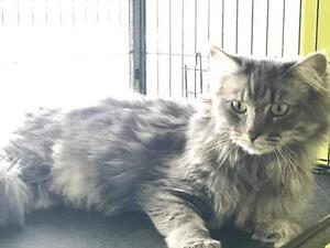 MARBLE - SPAYED FEMALE - LONG HAIR - GREY/GRAY/SILVER