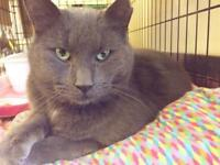 "Adult Male Cat - Domestic Short Hair-gray: ""Reggie"""