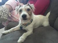 "Senior Male Dog - Jack Russell Terrier: ""Waldorf"""