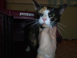 """Young Female Cat - Domestic Short Hair: """"Penny"""""""