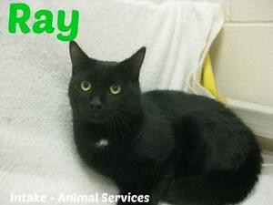 "Adult Male Cat - Domestic Short Hair-black: ""Ray"""