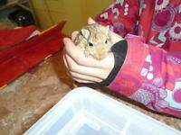 "Young Male Small & Furry - Gerbil: ""Chief"""