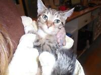 "Baby Female Cat - Domestic Short Hair: ""Sham Wow"""
