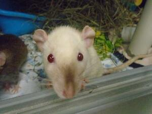 "Young Female Small & Furry - Rat: ""Beta"""