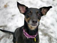 Young Female  - German Shepherd Dog-Doberman Pinscher