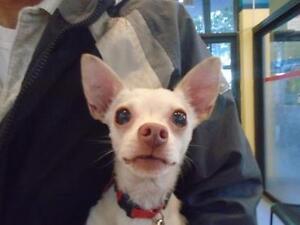 "Adult Male Dog - Chihuahua: ""Medor"""