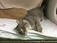 """Young Male Cat - Domestic Medium Hair: """"Pacey"""""""