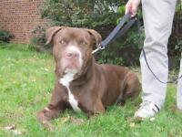 "Adult Male Dog - Pit Bull Terrier: ""Oli"""
