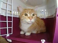 "Young Female Cat - Domestic Short Hair: ""Caramelle"""