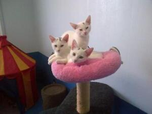 "Baby Male Cat - Domestic Short Hair: ""Meeko"""