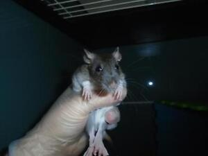 """Baby Male Small & Furry - Rat: """"Victor"""""""