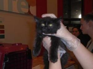 Baby Female  - Domestic Long Hair-Domestic Short Hair
