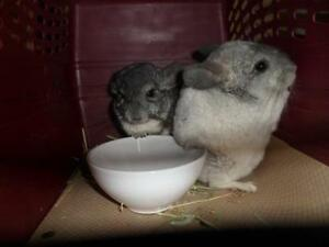 "Young Male Small & Furry - Chinchilla: ""Red Bull"""