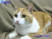"Adult Male Cat - Domestic Short Hair-Tabby: ""Zeplin"""