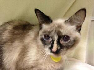 "Young Female Cat - Siamese: ""Kriquette"""