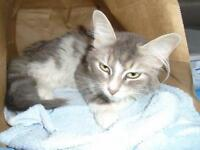 """Young Female Cat - Domestic Long Hair: """"29210209"""""""