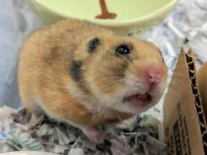 """Young Male Small & Furry - Hamster: """"Nougat"""""""