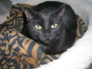 "Young Female Cat - Domestic Short Hair: ""Sasha"""