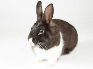 "Adult Male Rabbit - American: ""Riley"""