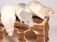 """Young Male Small & Furry - Rat: """"Audi and Elliot"""""""