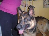 "Young Female Dog - German Shepherd Dog: ""Asta"""
