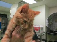 "Baby Male Cat - Domestic Short Hair: ""Victor"""
