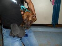"Baby Male Dog - Pit Bull Terrier: ""Eddie"""